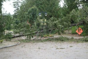 Tree on Paradise Bay Road in front of Port Ludlow Village Store